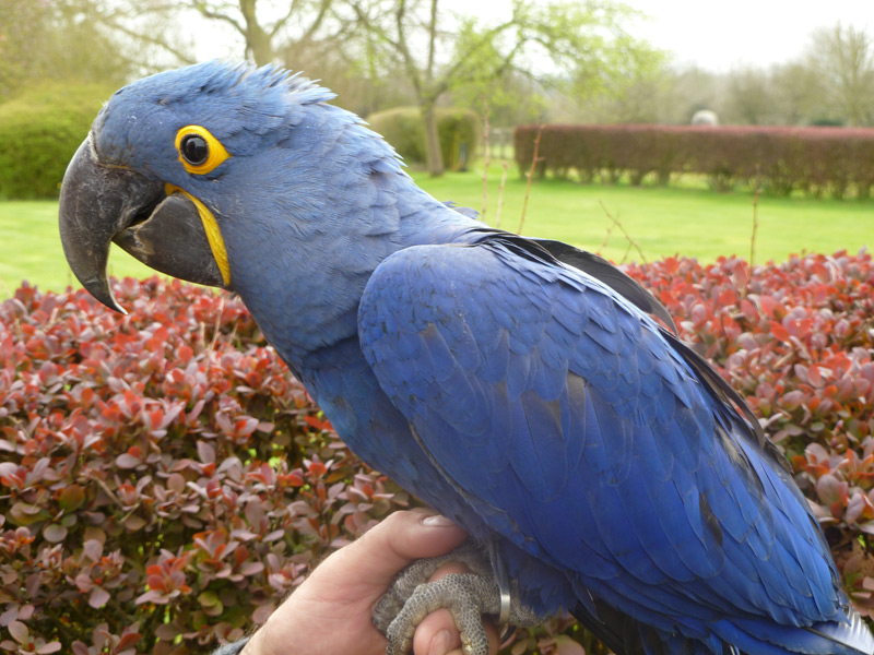 Perfect Exotic Parrots Aviary | Parrots for sale | African Grey